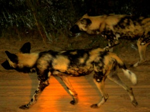 Wild Dogs (hyena)